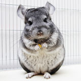 Chinchilla in his cage. Chinchilla eating in his cage