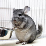 Chinchilla in his cage Royalty Free Stock Photo