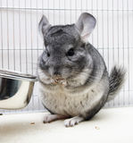 Chinchilla in his cage Stock Images