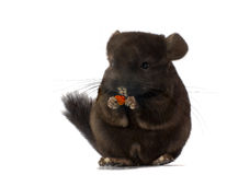 Chinchilla holding food isolated