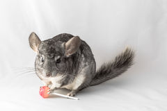 Chinchilla with lollipop Stock Images