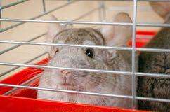 Chinchilla im Käfig Stockfotografie