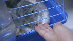 Chinchilla im Zoospeicher stock footage