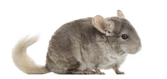 Chinchilla isolated on white Stock Image