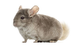 Chinchilla isolated on white Royalty Free Stock Images