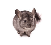 Chinchilla isolated on white Royalty Free Stock Photography
