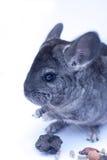 Chinchilla joven en blanco Imagen de archivo
