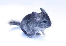Chinchilla joven en blanco Imagenes de archivo