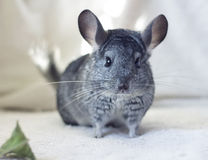 Chinchilla and leaf. Gray shaded and green leaf Royalty Free Stock Photo