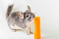 Chinchilla licking an ice lolly Royalty Free Stock Photo