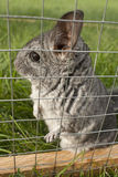 Chinchilla is listening Royalty Free Stock Photography