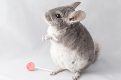 Chinchilla with lollipop Royalty Free Stock Image
