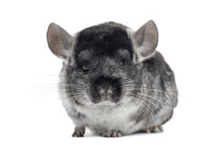 Chinchilla looking at the camera Stock Images