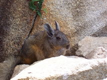 Chinchilla at Machu Picchu, Peru. A Chinchilla among the Inca ruins of Machu Picchu in Peru, South America Stock Image