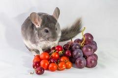 Chinchilla med druvor och tomater Arkivfoto