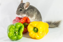 Chinchilla with peppers Royalty Free Stock Photography