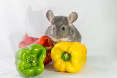 Chinchilla and colorful peppers Stock Images