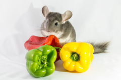 Chinchilla and peppers Royalty Free Stock Photography