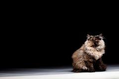 Free Chinchilla Persian Cat Royalty Free Stock Photos - 96588408