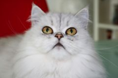 Chinchilla Persian cat in the garden. This beautiful photo shows a gray Chinchilla Persian cat lying and looking upwards. This picture was taken in Thailand stock image