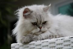 Chinchilla Persian cat in the garden. This beautiful photo shows a gray Chinchilla Persian cat lying and looking upwards. This picture was taken in Thailand royalty free stock photography