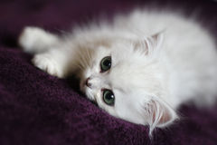 Chinchilla Persian kitten Stock Photo