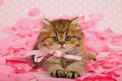 Chinchilla Persian kitten on pink petals. Golden Chinchilla Persian kitten lying down on pink rose petals royalty free stock photo
