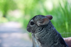 Chinchilla. Profile portrait of fluffy cute gray young chinchilla animal sitting in open cage and looking somewhere. Green background, copy space Royalty Free Stock Photo