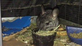 Chinchilla que come el heno del timothy en jaula almacen de metraje de vídeo