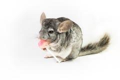 Chinchilla que come la piruleta rosada Imágenes de archivo libres de regalías