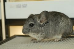 Chinchilla. Sit and watch in the cage Royalty Free Stock Image