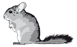 Chinchilla sitting on feets Royalty Free Stock Photography