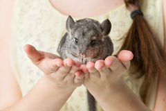 Chinchilla sitting on hands Stock Image