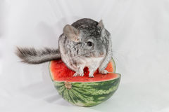 Ancestral Chinchilla on Watermelon Royalty Free Stock Photography