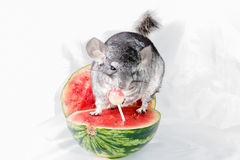 Chinchilla eating lollipop on watermelon. A long-tailed chinchilla eating a lollipop on a watermelon royalty free stock photo