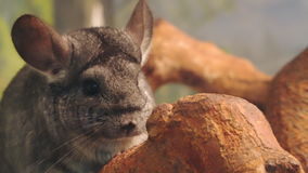 Chinchilla is sitting on a tree branch. Close-up stock video footage