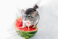 Chinchilla on watermelon. A chinchilla sitting on a melon looking at a lollipop Royalty Free Stock Photo