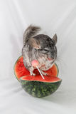 Chinchilla sitting on watermelon  Royalty Free Stock Images