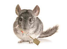Chinchilla with a spade Stock Photography