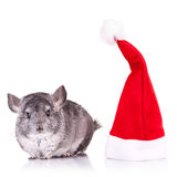 Chinchilla standing near a red santa hat Royalty Free Stock Photos