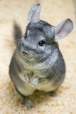 Chinchilla status Stock Fotografie