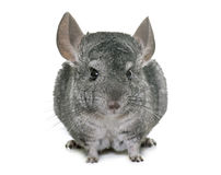 Chinchilla in studio Royalty Free Stock Images
