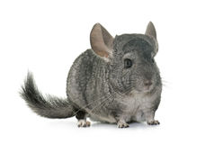 Chinchilla in studio Stock Photos
