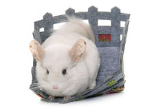 Chinchilla in studio Royalty Free Stock Image