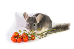 Chinchilla with tomatoes Royalty Free Stock Photos