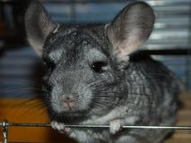 Chinchilla un animal familier d'intérieur aux regards de la maison de l'humain à la caméra de la cage image libre de droits