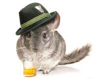 Chinchilla wearing beer festival hat with pint Royalty Free Stock Photo