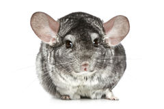 Chinchilla on a white background Royalty Free Stock Images