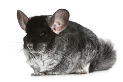 Chinchilla on a white background Stock Images