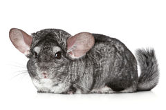 Chinchilla on a white background Royalty Free Stock Image
